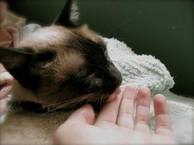 Por qué tu gato se empeña en asearte y otras manías felinas
