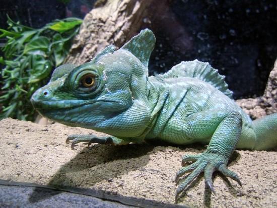 El basilisco verde, un dragón mitológico en el hogar