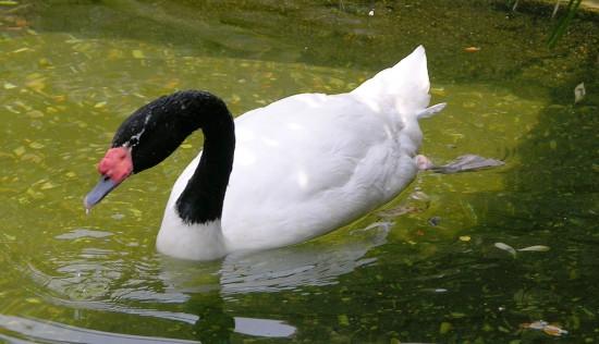 El elegante cisne de cuello negro