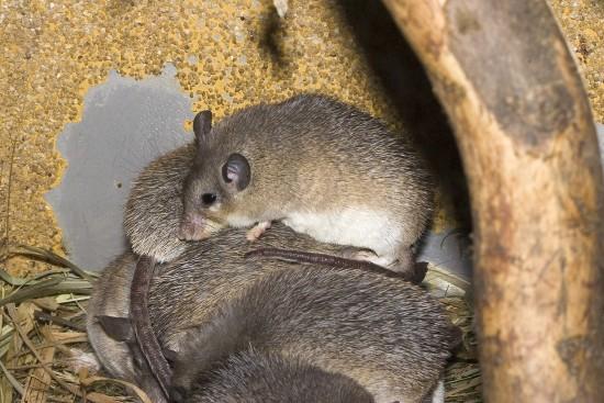 El ratón espinoso: ratón o erizo