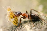 El oscuro mundo de las hormigas mascotas I