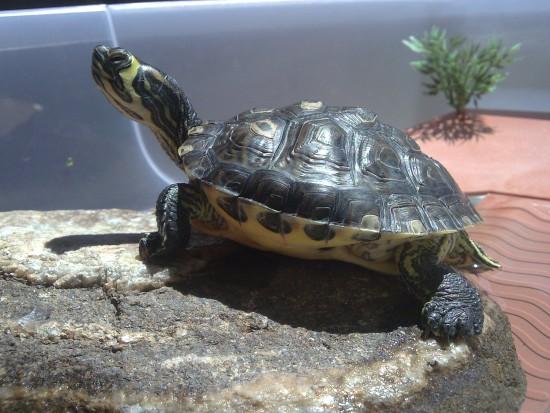 Cazando para nuestra tortuga acuática