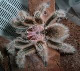 Las arañas mascotas