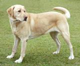 Las razas de perros más sanas