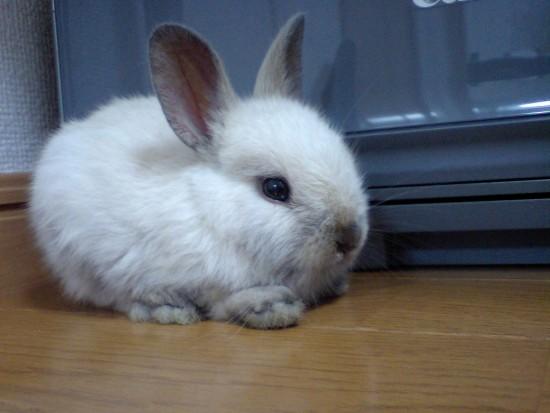 Los conejos enanos, una raza aparte