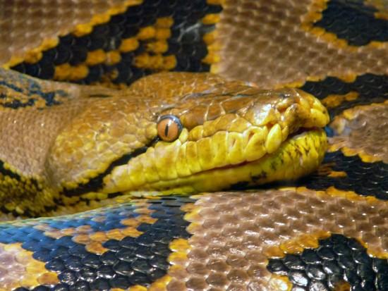 Antes de tener una serpiente… cuestiones a considerar