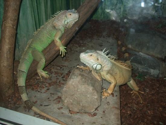Conocer el lenguaje de las iguanas evita ataques
