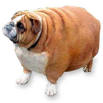 Sobrepeso en mascotas y amos
