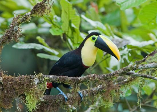 El tucán, un elegante arcoiris sobre fondo negro