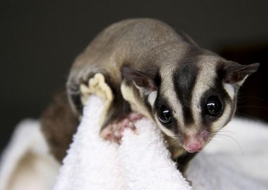 El petauro, un pequeño marsupial a descubrir