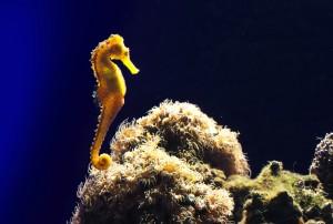 Caballito de mar en el coral