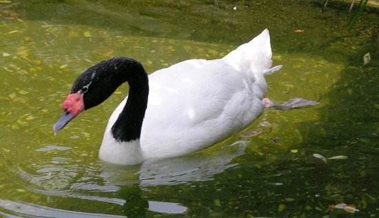 Cisne de cuello negro en un estanque