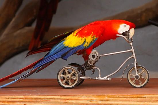 Loro en bicicleta