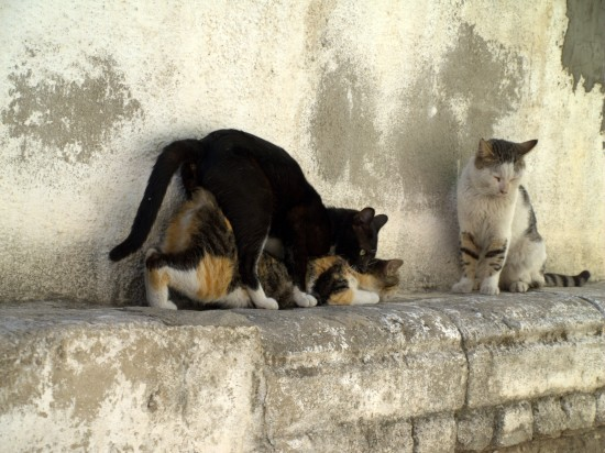 Cópula entre gatos