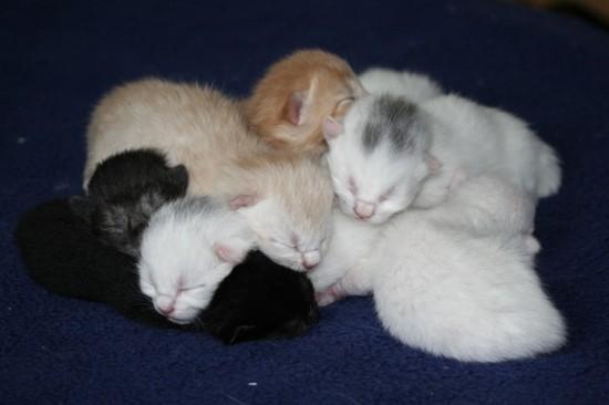 Gestación y lactancia en los gatos (II)