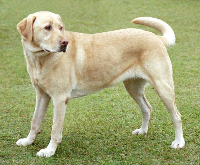 Las razas de perro más... sanas