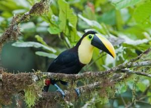 La elegancia del tucán, un arcoiris sobre fondo negro