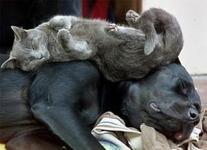 Gato durmiendo sobre perro