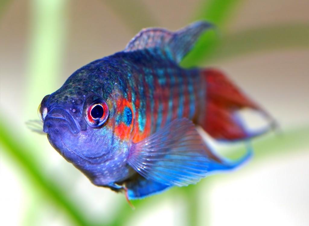 Los peces más habituales en nuestras peceras
