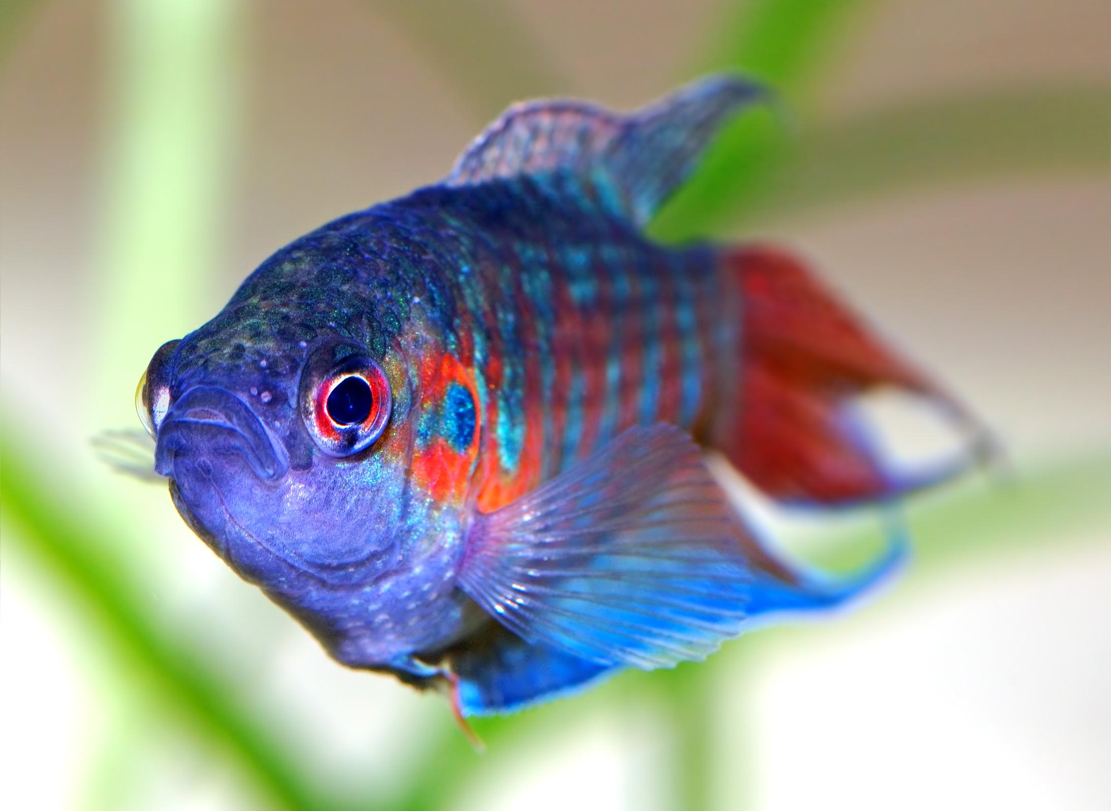 Los peces m s habituales en nuestras peceras mascotas - Peces tropicales fotos ...