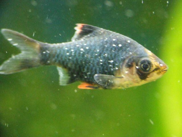 Enfermedades comunes en peces de pecera i mascotas for Peces de pecera