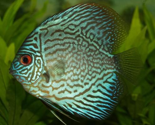 Enfermedades comunes en peces de pecera II