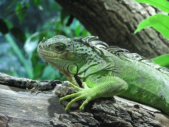 Iguana en tronco