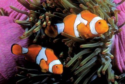 Un pez payaso llamado nemo o nema mascotas for Peces para acuarios pequenos