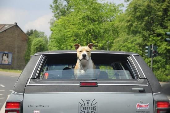 perro viajando en coche
