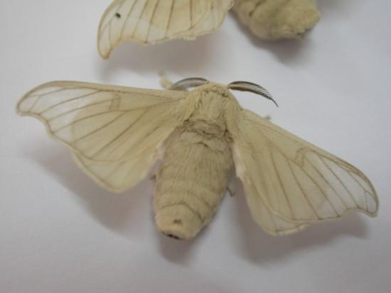 mariposas de la seda