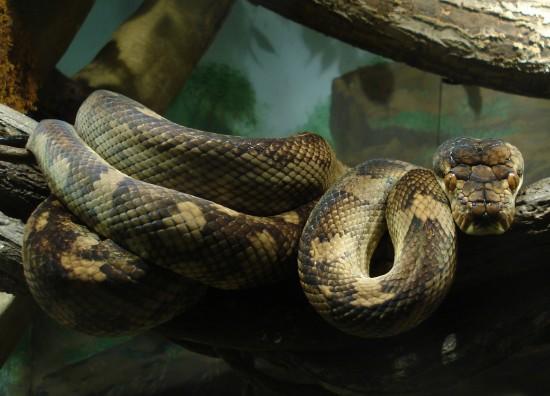 Pitón constrictor