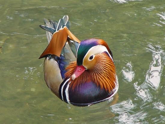 Un pato mandar n en mi estanque mascotas for Estanque para perros
