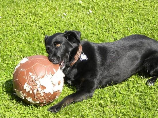Labrador negro jugando con una pelota
