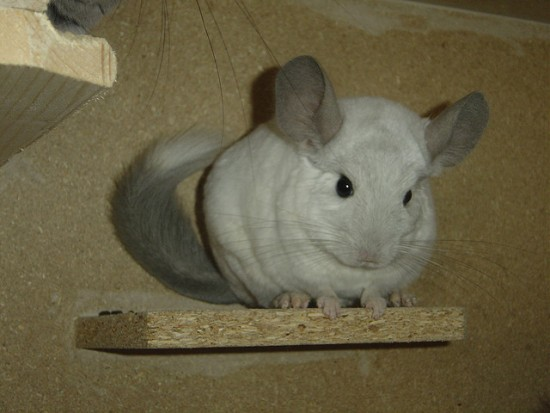 Chinchilla en una repisa