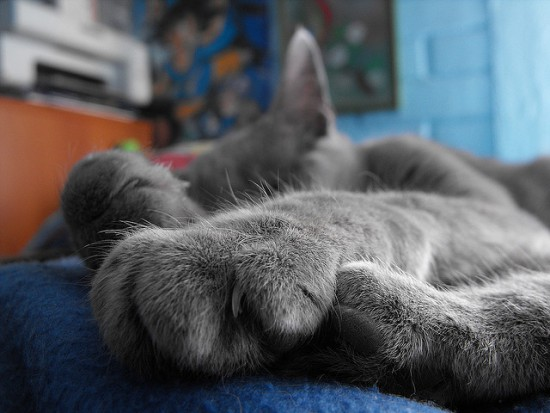 Vista de las uñas de un gato dormido