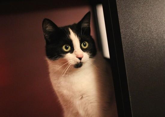 Gato común