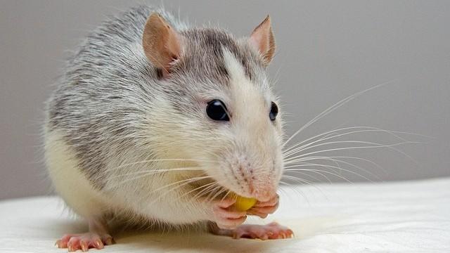 Rata comiendo una semilla