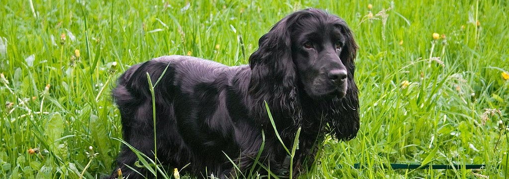 English_Cocker_Spaniel_4