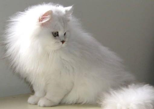 razas de gato con mucho pelo