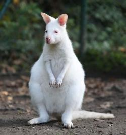 canguro albino